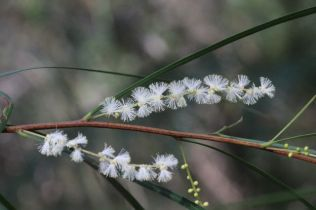Acacia longissima
