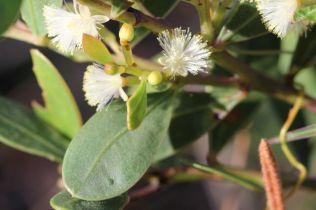 Acacia myrtifolia