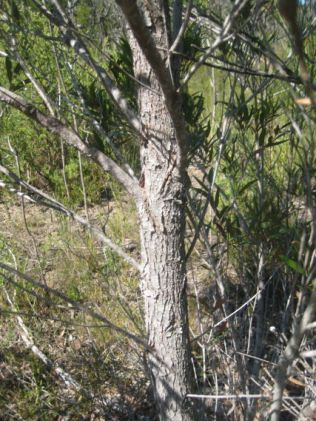 Angophora crassifolia