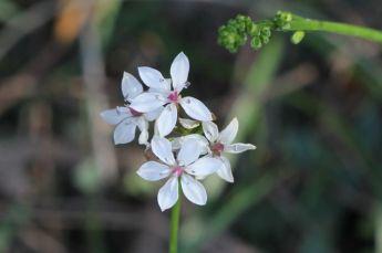 Burchardia umbellata