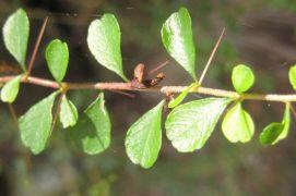 Bursaria spinosa