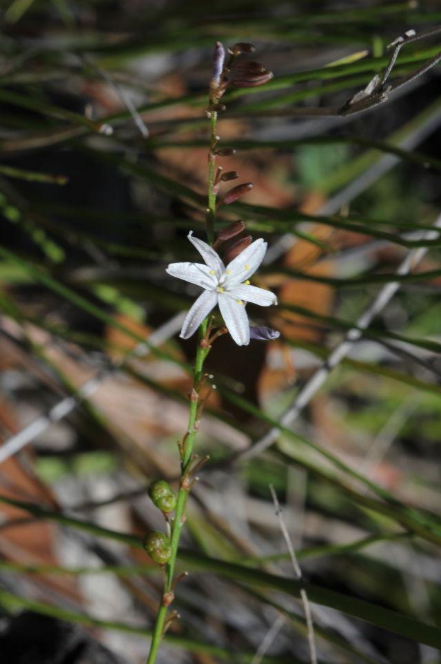 Caesia parviflora var. parviflora
