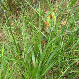 Caesia parviflora var. vittata