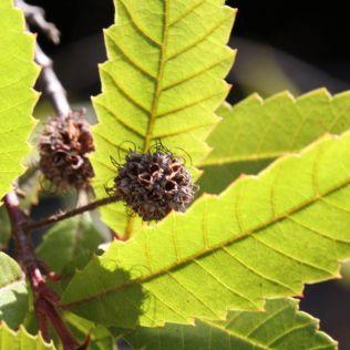 Callicoma serratifolia