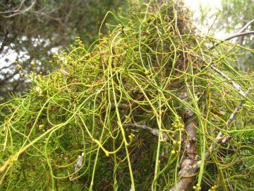 Cassytha pubescens