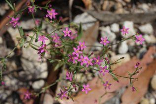 Centaurium spicatum