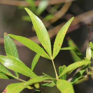 Ceratopetalum gummiferum