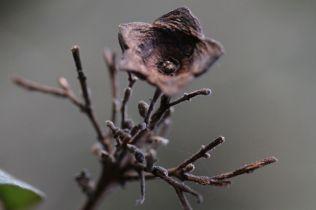 Clerodendrum tomentosum