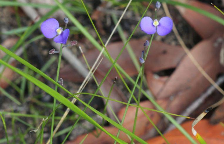 Comesperma sphaerocarpum