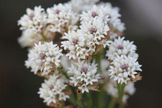 Conospermum ericifolium