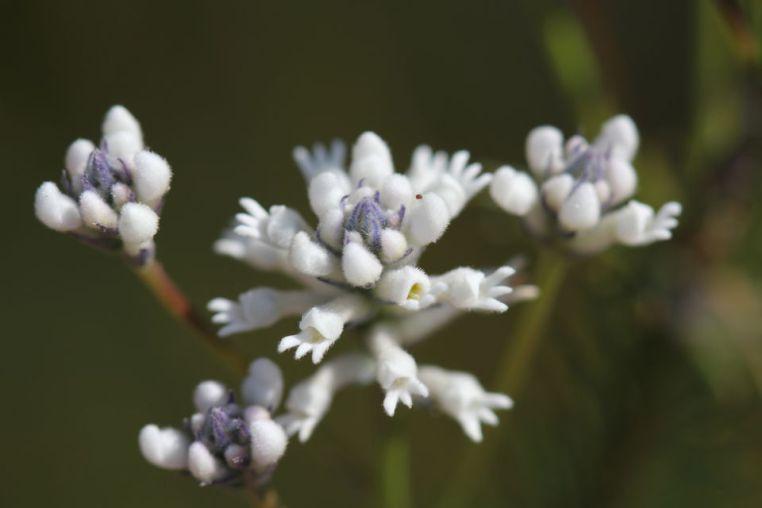 Conospermum longifolium