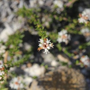 Cryptandra ericoides
