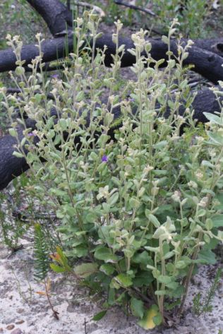 Dampiera purpurea