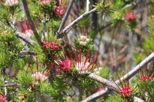 Darwinia fascicularis