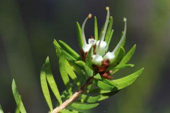 Darwinia procera