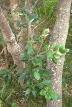 Diospyros australis
