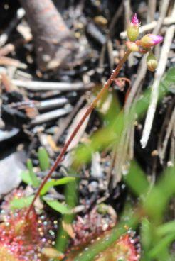 Drosera spathulata