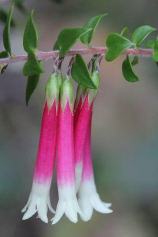 Epacris longiflora
