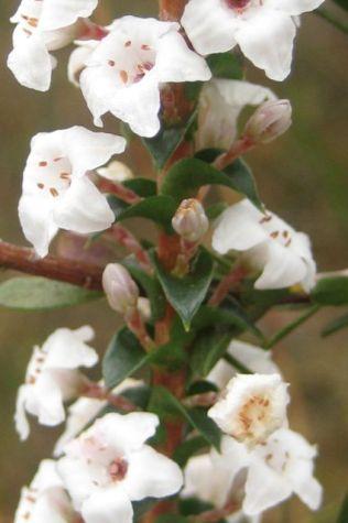 Epacris microphylla