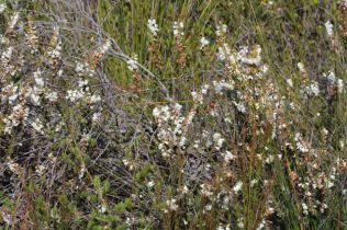 Epacris obtusifolia