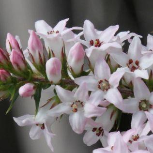 Epacris pulchella