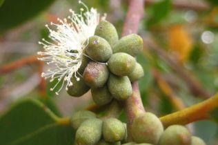 Eucalyptus camfieldii