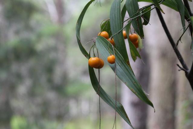 Eustrephus latifolius