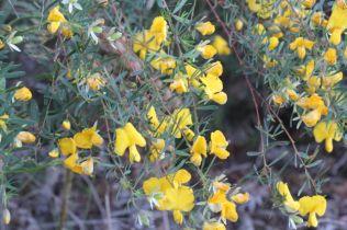 Gompholibium latifolium