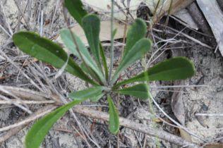 Goodenia bellidifolia
