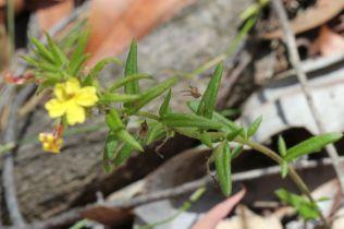 Goodenia heterophylla