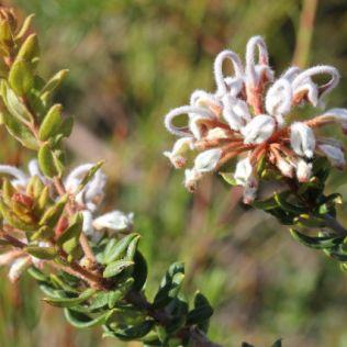 Grevillea buxifolia