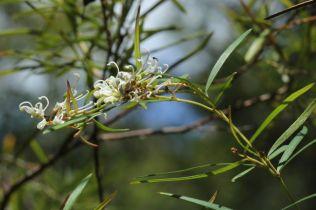 Grevillea linearifolia