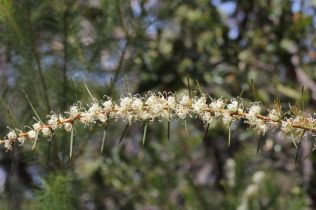 Hakea teretifolia