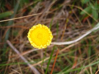 Helichrysum scorpiodes