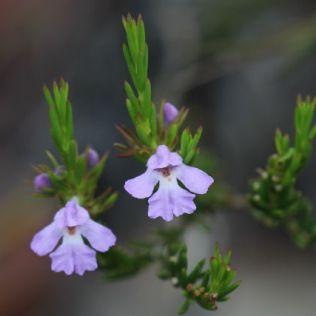 Hemigenia purpurea
