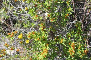 Hibbertia bracteata