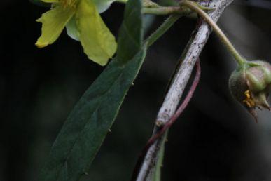 Hibbertia dentata