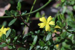 Hibbertia empetrifolia