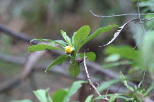 Hibbertia scandens