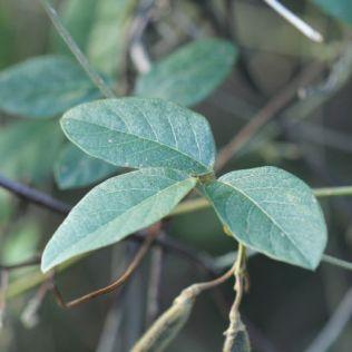 Kennedia rubicunda