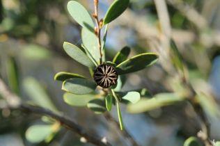 Leptospermum laevigatum