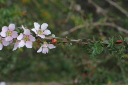 Leptospermum squarrosum