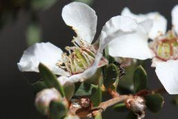 Leptospermum trinervium