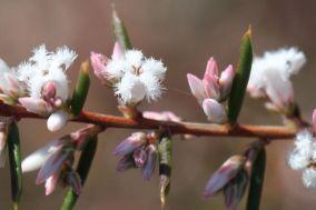 Leucopogon ericoides