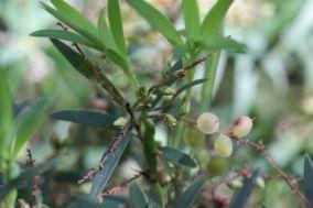 Leucopogon lanceolatus