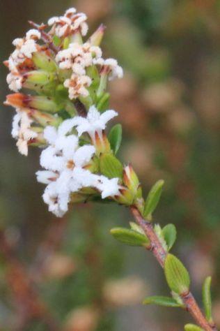 Leucopogon microphyllus