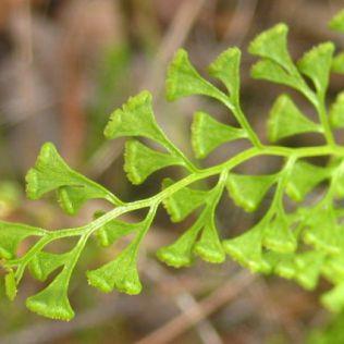 Lindsaea microphylla