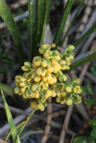 Lomandra filiformis