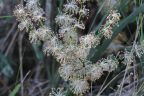 Lomandra multiflora
