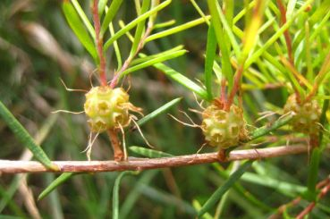 Melaleuca nodosa